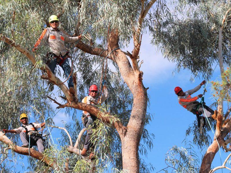 Tree Trimming Phoenix, AZ - High Climbers