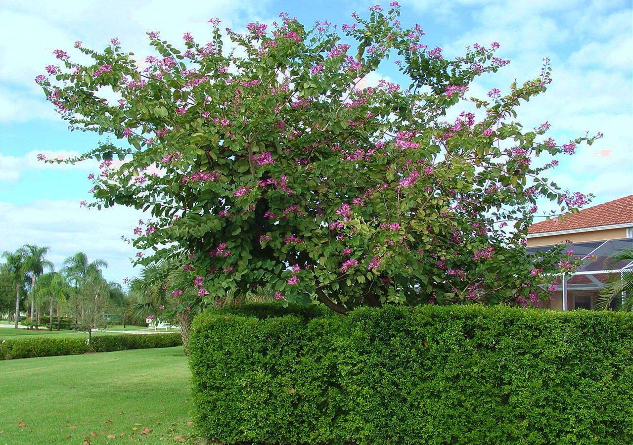 Bauhinia Orchid Tree