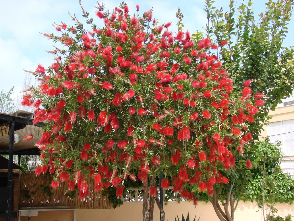 Callistemon Citrinus Bottle Brush Tree