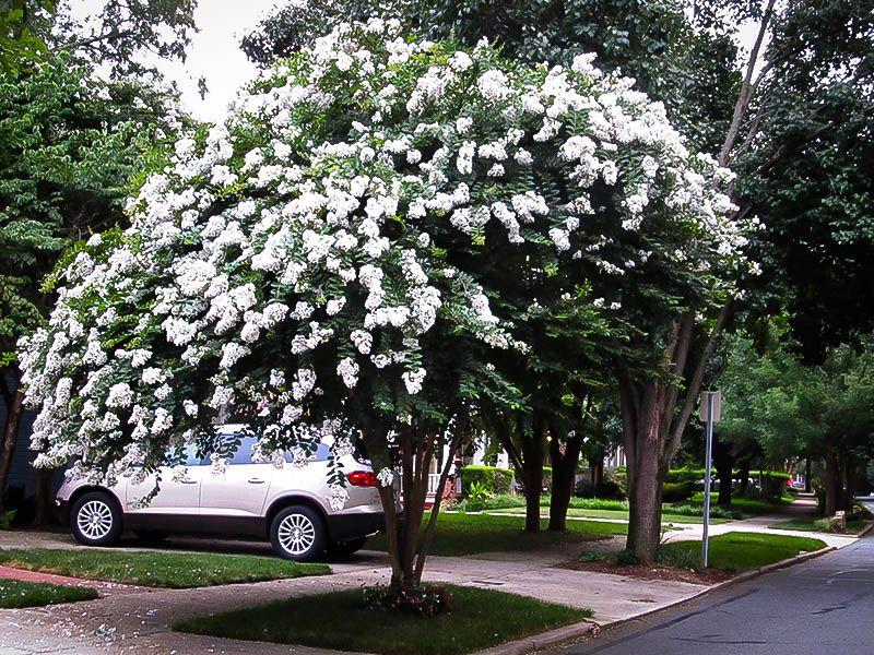 White Crape Myrtle Tree